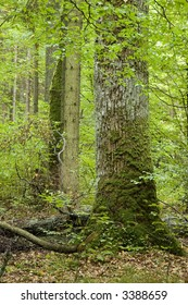Old oak in the old natural mixed forest