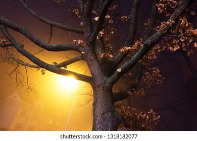 old oak in the night, city Kolín, Czech republic,