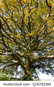 Old oak tree branches in autumn