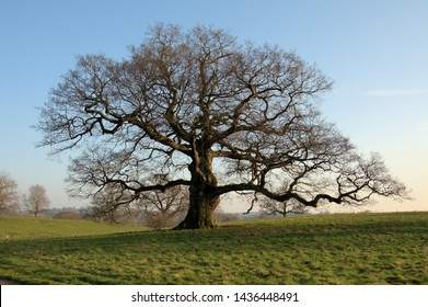 Old oak tree in the early springtime in England.