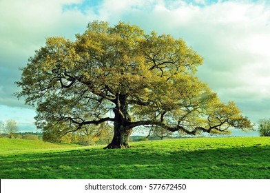 Old oak tree in an English meadow.