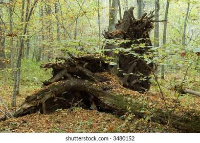 Old oak tree fallen down by storm,