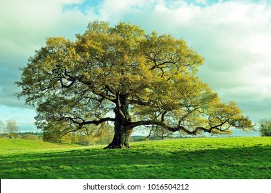 Old oak tree in a meadow.