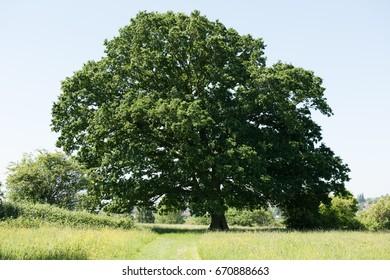 Old Oak Tree in meadow, South Gloucestershire, England