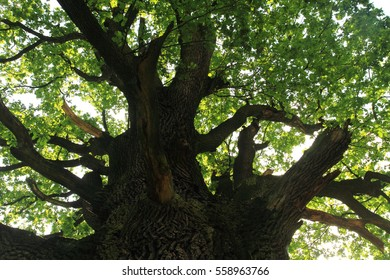 old oak tree as nice natural background