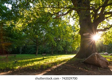 Old oak tree on a sunny morning in late august, Germany