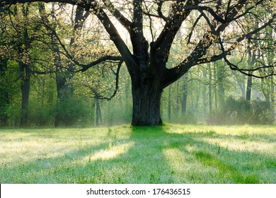old oak tree in spring landscape,  nature