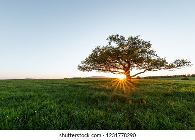 Old oak tree stands in a Meadow at sunset