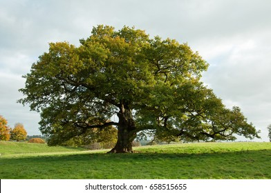 Old oak tree in a summer meadow in England..