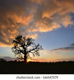 Old Oak Tree at Sunset