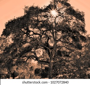 An old oak tree at Toro Park, in the hills of Monterey County of central California, with a sun starburst, in sepia.