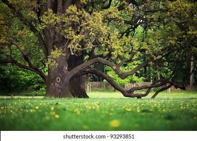 Old oaks in garden