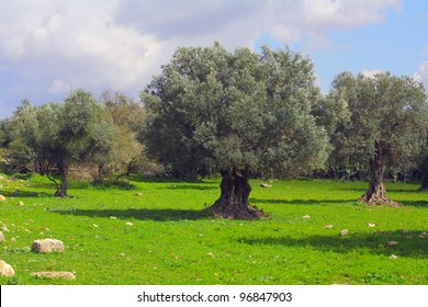 old olive grove in israel