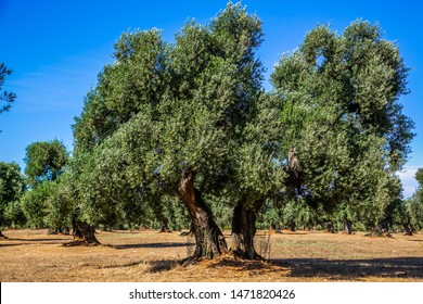 An old olive grove in the province of Bari-Italy