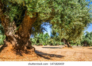 An old olive grove in the province of Bari-Italy-These trees are living sculptures