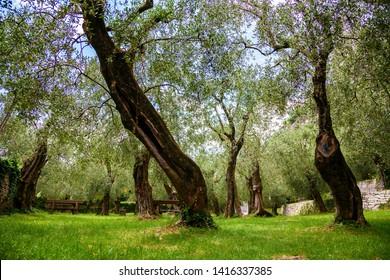 old olive park in Nago-Torbole, lake Garda, Italy