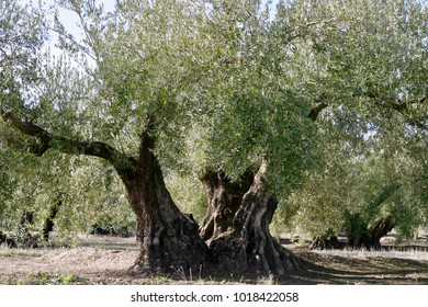 Old olive tree close to Priedo de Cordoba, Andalusia, Spain; in December