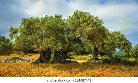 An old olive tree in Greece, Zakynthos.