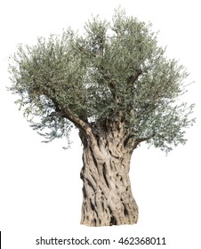 Old olive tree isolated on a white background. File contains clipping paths.