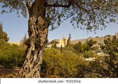 The Old Olive Tree on the Background of the Ancient Walls of Jerusalem