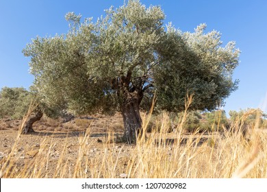 Old olive tree on the island of Crete, Greece