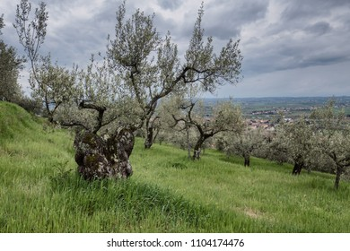 Old olive tree outside Cortona in Tuscany Italy