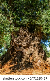 An old olive tree in the province of Bari-Italy-These trees are living sculptures