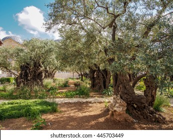 Old olive trees in the garden of Gethsemane, Jerusalem
