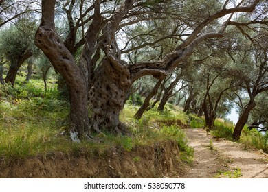 Old olive trees grove landscape with country road in Montenegro