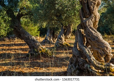 Old olive trees in the olive grove in Salento-Apulia-Italy-These trees are real living scutures