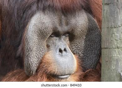 Old orangutan