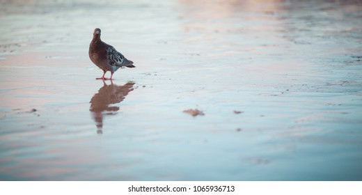 OLD ORCHARD, ME - UNITED-STATES SEPTEMBER 2012 : A pigeon posing for the camera on a wet sand beach after the sunset. There is a reflection below the bird and the colors are warm and cold tints.