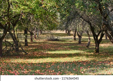 Old organic farming apple orchard with apple branches during harvest full of riped red apples on the trees and also in the grass. Example of extensive and organic farm.