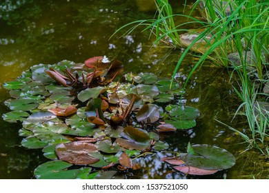 Old overgrown pond in tspring evergreen garden. Young blooming leaves of water lilies or lotus flowers on dark surface water magic pond. Close-up. Nature concept for design.