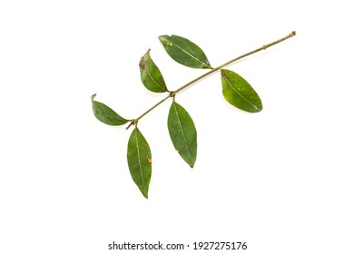 Old, overwintered leaves of ligustrum plant isolated on white background.