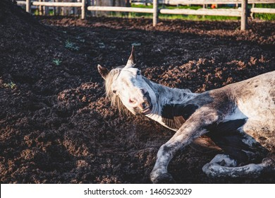 Old paint thoroughbred horse taking a nap in his paddock, lying down in the mud: sleeping horse