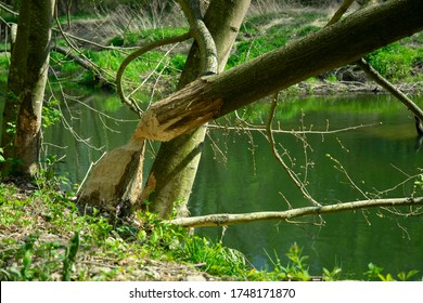 Old Park and even centennial Park in springtime: fallen tree, sludge pond. Beavers gnaw old trees. Beavers contribute to renewal of forest, rejuvenation of forest and beavers hurt forestry
