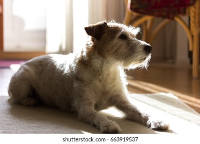 Old Parson Russell Terrier