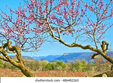 Old peach tree blossom. Bakhchisaray, Crimea