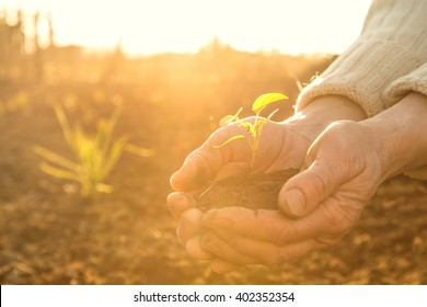 Old Peasant Hands holding a green young Plant and earthy Handful in Morning Sunlight Rays Earth Day Concept