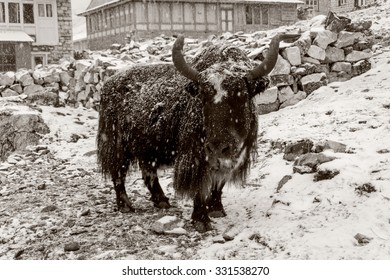 Old photo of snowfall in Gokyo mountain village, Everest region, Nepal. A black yak covered with snow in the street of Gokyo.