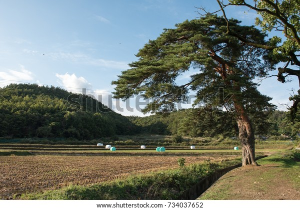 Old pineOctober 4, 2017 in a village in Korea. Old pines and rice fields after harvest attract interest.