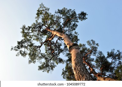 An old pine tree