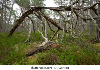Old pine tree among heather plants in a national park in sweden, important habitat for many endangered insects