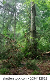 Old Pine Tree broken branch lying in ground storm after, Bialowieza Forest, Poland, Europe