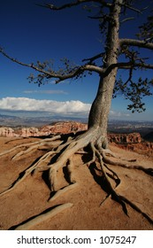 Old pine tree with exposed roots at the rim of Bryce Canyon National Park Utah.