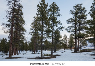Old pine tree forest