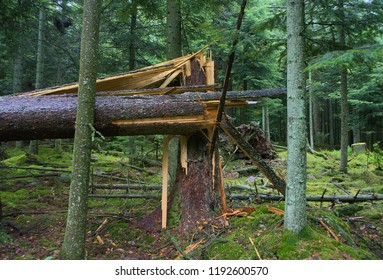 An old pine tree in a forest struck by lightening and felled.