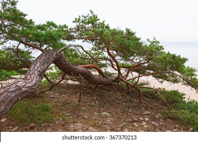 Old pine tree growing on the beach