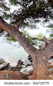 Old pine tree on Mediterranean seaside, Greece